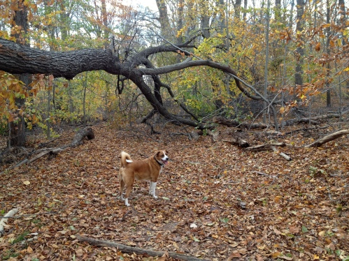 Cosmo in South Mountain Reservation, November 2012.